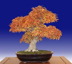 """Shishigashira Japanese maple, Acer palmatum """"Shishigashira""""- Trained from a five year old container grown grafted plant since 1969"""