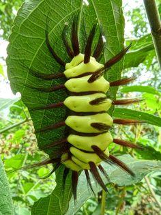 Stinging Flannel Moth Caterpillar, Megalopyge lanata | Flickr - Photo Sharing! www.nbcbirdandpestcontrol.co.uk