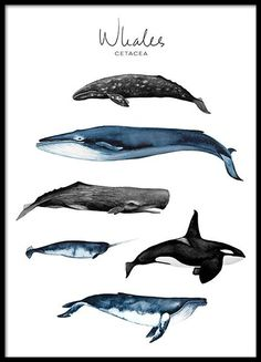 Whales Poster in der Gruppe Poster / Größen und Formate / bei Desenio . Whales Poster in the Group Poster / Sizes and Formats / at Desenio AB Dinosaur Posters, Animal Posters, Animal Prints, Dinosaur Illustration, Illustration Art, Illustration Children, Art Illustrations, Alphabet Poster, Illustrations Posters