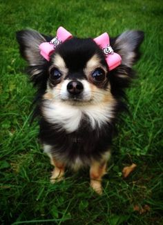 Beautiful in bows. #chihuahua