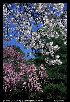 Sakura flowers: branch of white and red blossoms. Kyoto, Japan