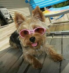 Oh so cute and stylish... Brand NEW K9 Optix styles by Doggles bring us into the next generation of dog sunglasses. The frames are all one piece with a flexible nose bridge; that means no more screws