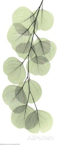 X-Ray Eucalyptus Branch II Poster by Albert Koetsier at AllPosters.com
