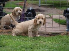 Puppy Stages, Best Puppies, English Cocker Spaniel, Spaniels, New Puppy, Dog Breeds, Dogs, Animals, Animales