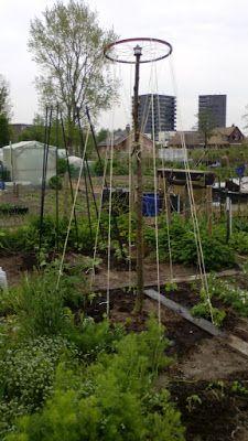 Dorthy's moestuin en meer: Planttijd voor bonen en tomaten.