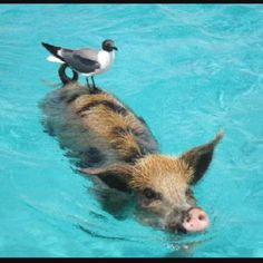 Swimming with the pigs out by Stanley Cay - Gotta do it!#Repin By:Pinterest++ for iPad#