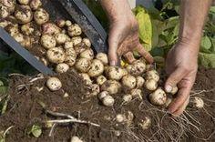 Podemos cultivar patatas sin disponer de tierra donde plantarlas. Simplemente con un barril u otro contenedor grande podemos conseguir una magnífica cosecha de patatas. El método del barril, en to…