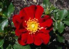 Bedazzler: Medium-sized, mysterious deep velvety red, nearly semi-double blooms that open to show gorgeous golden centers almost cover this wonderfully rounded, spreading bush that forms a mound and is densely foliaged with dark-green leaves. A real standout in the garden. A truly outstanding rose.