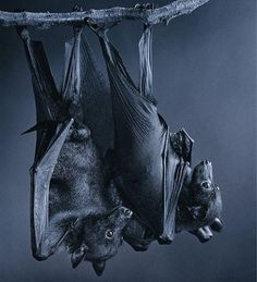 Save bats! The eat mosquitoes and grow trees.