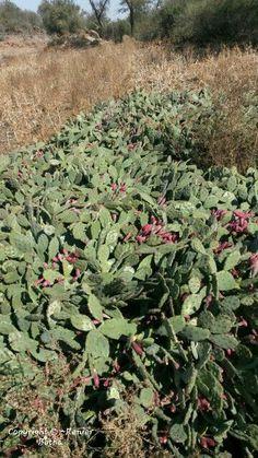 Beautiful cactus..... captured by Renier Botha..... on farm outside Koppies