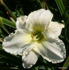WHITE TEMPTATION Near white blooms w/ pale yellow throat. It kicks into gear around midseason and blooms well into the later days of the summer garden. Oakes Daylilies