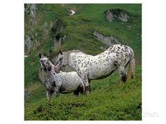 Pinzgauer Noriker horses, Austria Premium Giclee Print at AllPosters.com