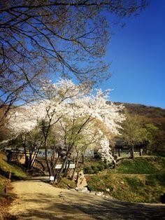 수리산 수리사엔 이제 벚꽃이 절정. Old and Big Cherry tree at the old trmple  blossoms a lot!