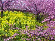 まつだ桜まつり (Cherry blossoms festa at Matsuda, Kanagawa) #Japan #Spring