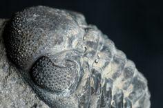 trilobite eyess