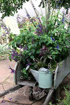 2015 Vintage Wheelbarrow16Following is a complete list of all plantings in the container: (1) 'Electric Star' Cordyline, (2) Nicotiana langsdorfii, (2) Persian Shield, (1) gal container 'Black & Blue' Salvia, (1) gal container unknown purple Salvia, (1) Salvia 'Wendy's Wish' & (3) Petunias 'Cascadias Rim Magenta.'
