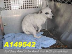 This DOG - ID#A149542 I am a male, white and black Chihuahua - Smooth Coated mix.The shelter staff think I am about 1 year old. I have been at the shelter since Nov 27, 2013. Click on the link below: http://www.facebook.com/pages/Pinal-County-Animal-Shelter-Animals-NEED-You/120830141352602?sk=app_141149985924076   You can contact the shelter directly at:  Pinal County Animal Control  1150 S Eleven Mile Corner Rd  Casa Grande, AZ 85122  520-509-3555