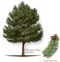 Pinyon Pine - Slow growing native often used as a living Christmas Tree . and wildlife loves it. and cute pinecones!:: Could be cute along side of house, near the front. Garden Trees, Trees To Plant, Mesquite Tree, Planting Tools, Cactus, Wild Edibles, Forest Service, Evergreen Trees, Watercolor Trees
