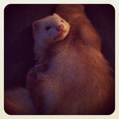 Awkward Ferret Hug! Photo by lgiles91