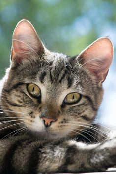 Tabby looks you in the eye Pretty Cats, Beautiful Cats, Animals Beautiful, Cute Cats, Animals And Pets, Cute Animals, Cats And Kittens, Tabby Cats, Mundo Animal