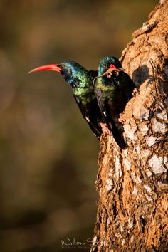 Wood Hoopoe nesting site in an old Mopipi tree