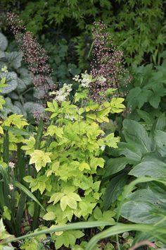 Golden meadowsweet (Filipendula ulmaria 'Aurea')