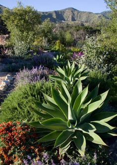Agave attenuata, a very soft to-the-touch agave.