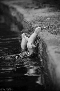 Ducklings