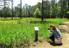 Pitcher plant bog at Crosby Arboretum in Picayune, MS. The pitcher plant is a carnivorous plant.
