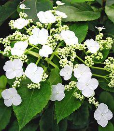 Kletter-Hortensie 'Semiola®': 250 cm hoch, blüht im 4. Jahr. Im Frühling mit saurer Erde düngen.