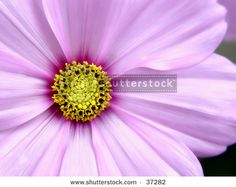 Pink Cosmo Flower Taken closeup by Melissa King, via Shutterstock