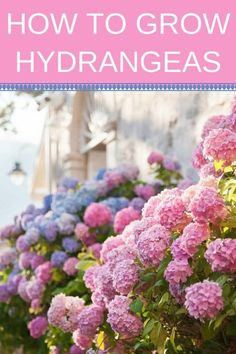hydrangea garden care Learn how to grow the most beautiful hydrangeas in your front yard! Discover how care for hydrangea plants for beautiful and healthy blooms. With the proper pruning, watering and fertilizing youll have a beautiful hydrangea garden. Hydrangea Bush, Hydrangea Colors, Hydrangea Care, Hydrangea Flower, Pink Flowers, Hydrangea Landscaping, Backyard Landscaping, Driveway Landscaping, Garden Care