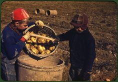*Children gathering potatoes on a large farm. Vicinity of Caribou, Aroostook County, Maine, October 1940. Reproduction from color slide. Photo by Jack Delano. Prints and Photographs Division, Library of Congress
