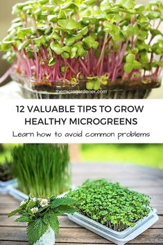 Need some help raising healthy microgreens? Learn how to avoid mould; get your timing right; feed, store   reuse seed raising mix & more. Dig into these tips! via @microgardener/