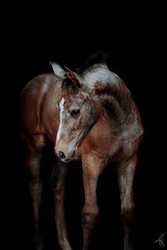 Warmblut Fohlen vor schwarzen Hintergrund Cow, Handsome, Horses, Beautiful, Animals, Black, Black Backgrounds, Baby Horses, Birth