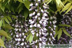 Wisteria sinensis Black Dragon is a wonderful twining climber producing dark purple, cascading, heavily spice scented flowers in May/June. These flowers can reach 2' in length.