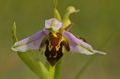 Most Unusual Flowers: Bee Orchid (source: wiki)