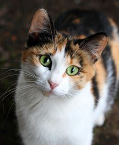 the calico cat is not a breed it s a color but they do tend to