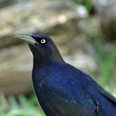 Birds of Iowa Great-tailed Grackle