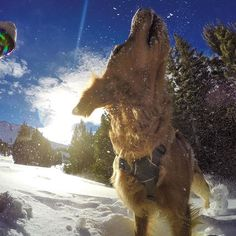 GoPro Featured Photographer - @PeterMorning About the Shot: As I was skiing around @MammothMountain looking for some shoot locations, I saw Duke, our #ski patrol dog, who always puts a smile on my face. Duke was doing his weekly #avalanche training where the patrol team buries articles of clothing in a mock avalanche. I watched Duke from afar and as he found his last fake victim, he started jumping and rolling around in excitement. I skied up to him and congratulated him on his task of the…