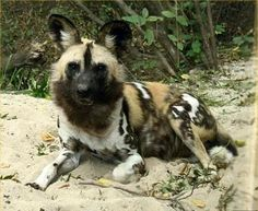 painted dogs of africa photos | Follow the Piper: WILD AFRICAN DOGS