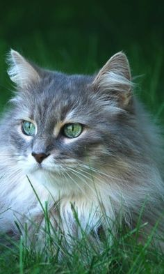 Most Popular Long Haired Cat Breeds - Samoreals Cute Cats And Kittens, Cool Cats, Kittens Cutest, Beautiful Cats, Animals Beautiful, Cute Animals, Long Hair Cat Breeds, Adventure Cat, Long Haired Cats