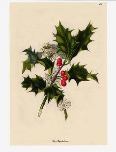 Art: vintage botanical holly