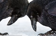 These two Common Ravens get a little closer together in this intimate portrait of the often ill-thought of birds