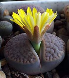 Lithops ~ A very unusual plant. Lithops is a genus of succulent plants in the ice plant family, Aizoaceae. Members of the genus are native to southern Africa, and are often known as pebble plants or living stones. Individual Lithops plants consist of one or more pairs of bulbous, almost fused leaves opposite to each other and hardly any stem. The leaves are not green but various shades of cream, grey, and brown, patterned with darker windowed areas, dots, and red lines.