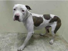 SAFE --- URGENT - Brooklyn Center    BRUNO - A0994333   MALE, WHITE / TAN, PIT BULL, 3 yrs  STRAY - ONHOLDHERE, HOLD FOR ARRESTED Reason OWN ARREST  Intake condition NONE Intake Date 03/19/2014, From NY 11212, DueOut Date , I came in with Group/Litter #K14-171207.  https://www.facebook.com/Urgentdeathrowdogs/photos_stream