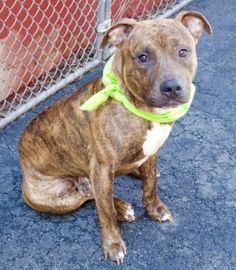 Manhattan Center TYSON – A1080815  MALE, BR BRINDLE, PIT BULL MIX, 1 yr, 6 mos STRAY – STRAY WAIT, NO HOLD Reason STRAY Intake condition EXAM REQ Intake Date 07/11/2016, From NY 10312, DueOut Date 07/14/2016,