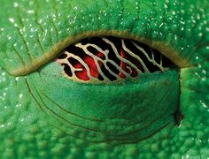 Napping eyes of the red eyed tree frog. In the day, when the frog is asleep, a gold membrane creeps over it's eyes. It lets in a small amount of sunlight,enough so that if a predator approaches, the frog can wake up!