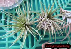 Tillandsia ionantha - How to grow & care Epiphyte, Pink Plant, Season Colors, Air Plants