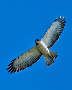 Short-tailed Hawk - Bosque de Cabo, Costa Rica